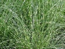 Grass, Zebra, 3 gal