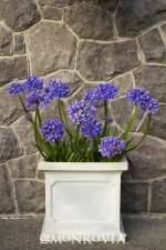 Agapanthus, Midknight Blue, 1g