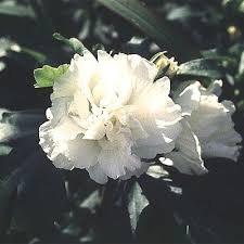 Althea, Double White, 3g
