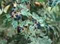 Ampelopsis, Porcelain Berry,5g