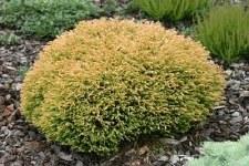Arborvitae, GoldenTuffet, 2/3g