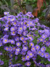 Aster, Kickin Lilac Blue, 1gal