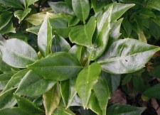 Aucuba, Dwarf Green, 3 gal