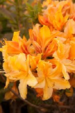 Azalea, Golden Lights, 2 gal