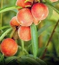 Peach, Belle of Georgia, 5 gal