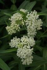 Milkweed, Ice Ballet, 3g