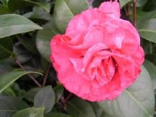 Camellia, Ack-Scent, 3 gal