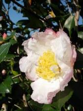 Camellia, Day Dream, 10/15 gal