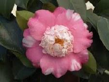 Camellia, Chandleri Elegans 5g