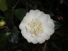 Camellia, Autumn Rocket, 3 gal