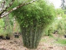 Bamboo, Clumping, 3gal