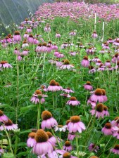 Coneflower, Purple/Magnus,1or2