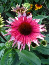 Coneflower, PlayfulMd Mama1or2
