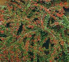 Cotoneaster, Ground, 3 gal