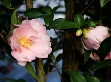 Camellia, Cotton Candy, 3 gal