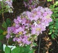 Crape, Lavender, 10-12'