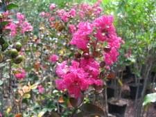 Crape, Pink Velour, 10-12'