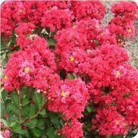 Crape, Enduring Summer Red, 3g
