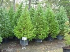 Cypress, Leyland, 30 gal