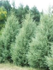 Cypress, Carolina Saphire, 30g