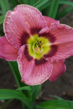 Daylily, Always Afternoon1or2g