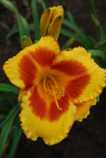 Daylily, Fooled Me, 1or2 gal