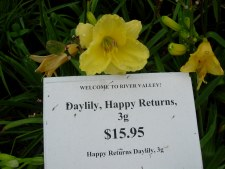 Daylily, Happy Returns, 1or2g