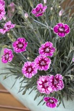 Dianthus, Superstar, 1gal