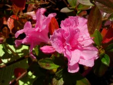 Encore®, Carnation™, 1g