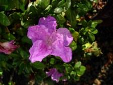 Encore®, Lilac™, 3g