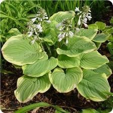 Hosta, Fragrant Bouquet, 1 gal