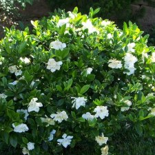 Gardenia, August Beauty, 3 gl