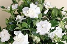 Gardenia, Scentamazing, 3g