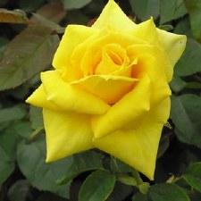 Rose, Grandmas Yw, 3/2 gal