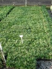 """Grass, Mondo Dwarf,  4"""""""