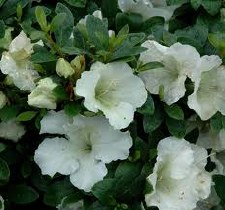 Azalea, Gumpo White, 3 gal