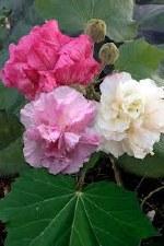Hibiscus, Confederate Rose, 3g