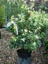 Holly, False 'Goshiki', 1 gal