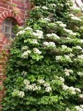 Hydrangea, Climbing, 15 gal