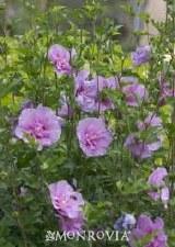 Althea, Lavender Chiffon®, 3g