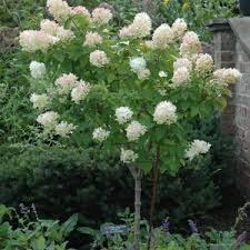 Hydrangea, Limelight TF, 5/7g