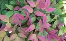 Nandina, Blush Pink, 3 gal