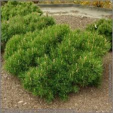 Pine, Mugo Pumilio, 7 gal