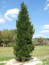Podocarpus, 15 gal