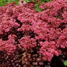 Sedum, Dark Magic, 1 gal