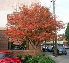 Serviceberry, Aut B 5-6' Clump