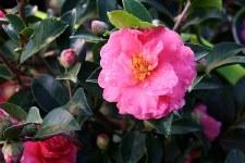 Camellia, Shishi Gashira, 3 gl