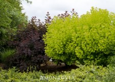 Smoketree, Golden Spirit, 5-6'