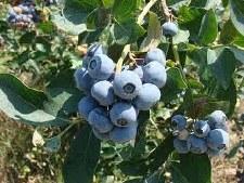 Blueberry, Tifblue, 1 gal