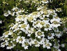 Viburnum, Summer Snowflake, 2g
